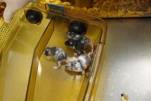 Laboratory mice in housing