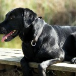 Genetic variant may help explain why Labradors are prone to obesity
