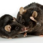 Two brown mice on white background_one is obese and the other is a healthy weight