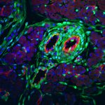 Microscopic image of stained cells from a mouse pancreas