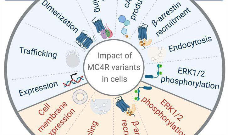 Illustration showing MC4R regulation and impact
